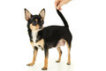 Adult chihuahua dog stands standing isolated Royalty Free Stock Photography
