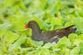 Adult common moorhen gallinula chloropus in nature of thailand Stock Photography