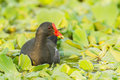 Adult common moorhen gallinula chloropus with worm in her mount in nature Royalty Free Stock Photography