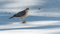 Adult cooper s hawk accipiter cooperii sits atop spring snow with its talons locked onto a fresh kill of prey an looks around Royalty Free Stock Image