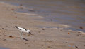Adult Crab-Plover with prey Royalty Free Stock Photography
