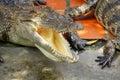 Adult crocodile with gaping jaws long xuyen farm mekong delta vietnam Royalty Free Stock Image