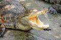 Adult crocodile with gaping jaws long xuyen farm mekong delta vietnam Stock Photos