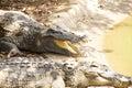 Adult crocodile with gaping jaws long xuyen farm mekong delta vietnam Stock Photography