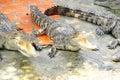 Adult crocodile with gaping jaws long xuyen farm mekong delta vietnam Royalty Free Stock Photos