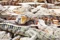 Adult crocodile with gaping jaws long xuyen farm mekong delta vietnam Royalty Free Stock Photo