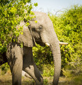 Adult Elephant Portrait Royalty Free Stock Photo