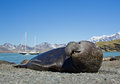 Adult elephant seal on the beach Royalty Free Stock Photo