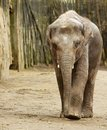 Adult elephant walking towards camera wood wall background Stock Photo