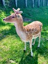 Fallow deer in a park Royalty Free Stock Photo