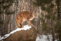 Adult Female Cougar Puma concolor Licks Nose on Rock