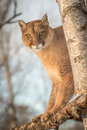 Adult Female Cougar Puma concolor Looks Down From Tree