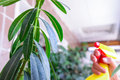 Adult female hands spraying water on indoor house plant. Household concept. Selective focus Royalty Free Stock Photo