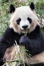 Adult Giant Panda eating bamboo, Chengdu China Royalty Free Stock Photo