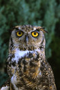 Adult Great Horned Owl Royalty Free Stock Images