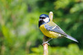Adult great tit on stick Royalty Free Stock Image