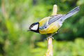 Adult great tit on stick Stock Photos