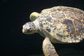 Adult hawksbill sea turtle water Stock Photos