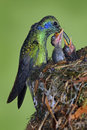 Adult hummingbird feeding two chicks in the nest, Green Violet-ear, Colibri thalassinus, Savegre, Costa Rica