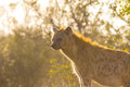 Adult hyena in the early morning sun Royalty Free Stock Photos