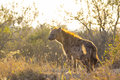 Adult hyena in the early morning sun Royalty Free Stock Image