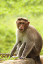 Adult indian rhesus macaque monkey macaca mulatta looking at the camera in a park on a bright sunny day Royalty Free Stock Images