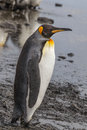 Adult King Penguin profile Royalty Free Stock Photo