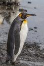 Adult King Penguin profile Royalty Free Stock Photo