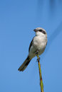 Adult loggerhead shirke shrike posing on tree branch southwest florida Stock Photography
