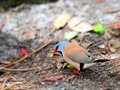 Adult long tailed finch bird walking also known as blackheart shaft tail heck s grassfinch heck s grass and heck s Stock Image