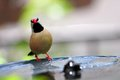 Adult long tailed finch on birdbath also known as blackheart shaft tail heck s grassfinch heck s grass and heck s standing Stock Photography