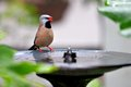 Adult long tailed finch perched on birdbath also known as blackheart shaft tail heck s grassfinch heck s grass and heck s standing Royalty Free Stock Image