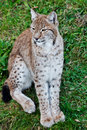 Adult Lynx Stock Photography