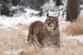Adult lynx nice majestic in winter forest Stock Photo