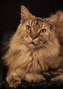 Adult maine coon cat an Royalty Free Stock Images