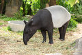 Adult malayan tapir tapirus indicus Royalty Free Stock Photos