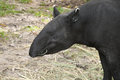Adult malayan tapir tapirus indicus moment of eatting food Stock Images