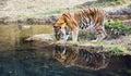Adult male Bengal tiger Panthera tigris tigris