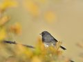 Adult Male Dark-eyed junco Royalty Free Stock Photo