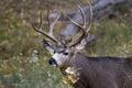 Adult male mule deer Royalty Free Stock Photo