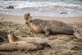 Adult Male Northern Elephant Seal, California Royalty Free Stock Photo
