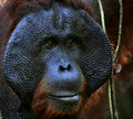 The adult male of the Orangutan. Stock Images