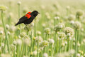 Adult male red winged blackbird displaying perched on allium seed pod Stock Image