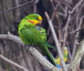 An adult male of superb parrot the polytelis swainsonii also known as barraband s barraband s parakeet or green leek Stock Images