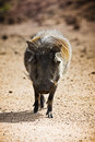 Adult male warthog portrait phacochoerus africanus the or common is a wild member of the pig family that lives in grassland Royalty Free Stock Photography