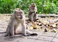 Adult monkeys sit and eat in the forest. Monkey forest, Ubud, Bali, Indonesia Royalty Free Stock Photo