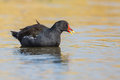 Adult moorhen swimming an gallinula chloropus in rippled water with golden reflection on the water Stock Photography