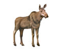Adult moose without horns isolated on white this image has attached release Stock Photography