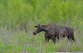 An adult moose in a patch of willows. Royalty Free Stock Photo