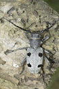 An adult of morimus funereus longhorn beetles in natural habitat Royalty Free Stock Images